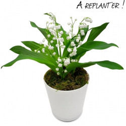 MUGUET IN POT