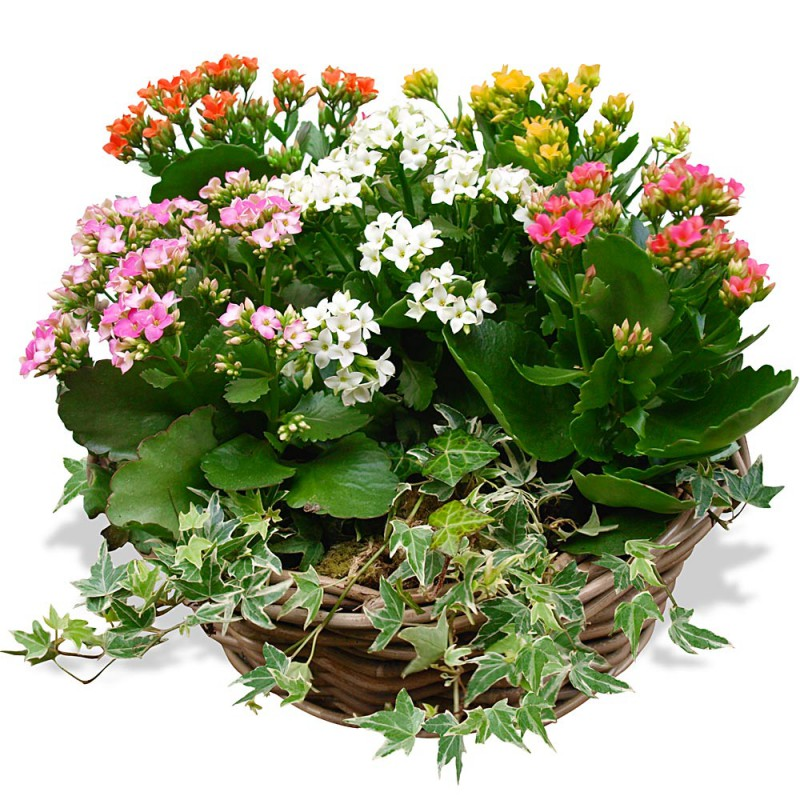 COMPOSITION ARRANGEMENT DE KALANCHOÉS