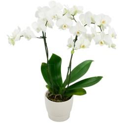 DOM-COM FLOWERS ORCHIDS