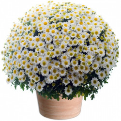 TOUSSAINT FLOWERS CHRYSANTHEM WHITE