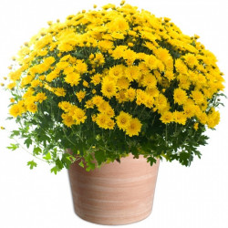 TOUSSAINT FLOWERS CHRYSANTHEM YELLOW