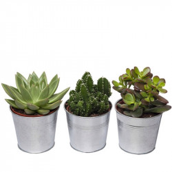 TRIO OF SUCCULENTES